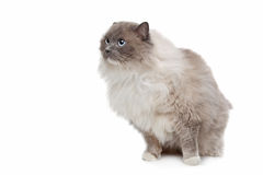 Ragdoll cat. In front of a white background stock image