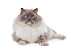 Ragdoll cat. In front of a white background stock photo