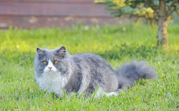 Ragdoll cat. Shoot in garden in summer time stock images