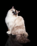 Ragdoll Cat. Beautiful Tortie Ragdoll Cat on a black background. Copyspace for your text stock photos
