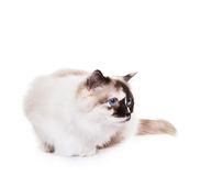 Ragdoll Cat. Cute Ragdoll Cat seated and looking to the side on a white background. Copy space for your text royalty free stock images