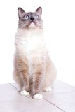 Ragdoll cat. Curious blue colored eyes ragdoll cat Royalty Free Stock Image