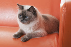 Ragdoll Cat. Lying on modern orange sofa royalty free stock images