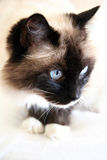 Ragdoll cat Stock Photos