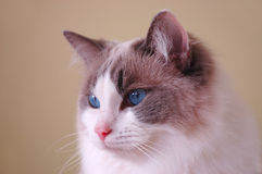 Ragdoll Cat. Portrait of a bicolor ragdoll cat with blue eyes Royalty Free Stock Image