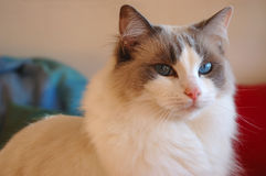 Ragdoll Cat. Bicolor ragdoll cat with bright blue eyes looking into the camera Royalty Free Stock Photo
