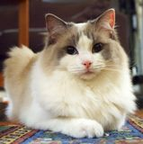 Ragdoll Cat. Bicolor ragdoll cat looking into the camera stock photo