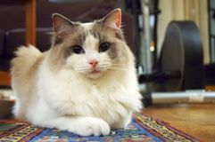 Ragdoll Cat. Bicolor ragdoll cat looking into the camera Stock Photos