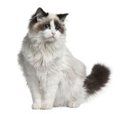 Ragdoll cat, 7 months old. Sitting in front of white background stock image