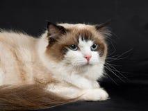 Ragdoll cat. Ragdoll seal bicolor cat on black velvet background Royalty Free Stock Photography