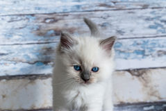 Ragdoll cat Stock Images