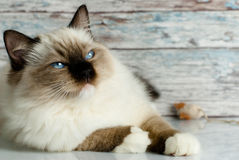 Ragdoll cat. A beautiful little ragdoll cat Stock Images