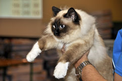 Ragdoll cat royalty free stock photo