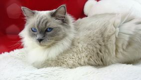RAGDOLL CAT. Blue colourpoint ragdoll cat stock photo