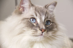 Ragdoll cat with blue eye closeup. Closeup of the beautiful blue eye of a ragdoll cat. Shallow depth of field Royalty Free Stock Images