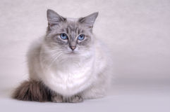 Ragdoll Cat. Blue tabby ragdoll cat on a plain background stock photography