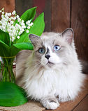 Ragdoll Cat Breed And A Vase Of Lilies Of The Valley Stock Photos