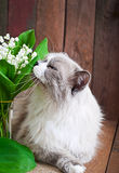 Ragdoll cat breed and a vase of lilies of the valley Stock Image