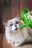 Ragdoll cat breed and a vase of lilies of the valley Stock Photo