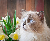 Ragdoll cat breed and a vase of narcissus Royalty Free Stock Photo