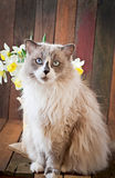 Ragdoll cat breed and a vase of narcissus Royalty Free Stock Photography