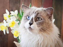Ragdoll cat breed and a vase of narcissus Royalty Free Stock Image