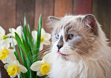 Ragdoll cat breed and a vase of narcissus Stock Photos