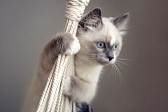Ragdoll cat climbing a rope. Lovely ragdoll cat climbing a rope of a rocking chair. Cat and background colors are matching. Cat with light coat, bright blue eyes royalty free stock photos