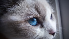 Ragdoll cat close up Royalty Free Stock Photography