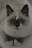 Ragdoll cat close-up royalty free stock image