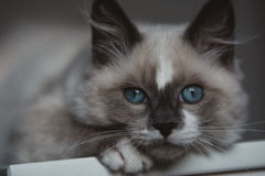 Ragdoll cat close-up royalty free stock photos