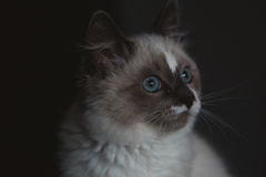 Ragdoll cat close-up royalty free stock images