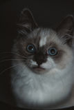 Ragdoll cat close-up stock photos