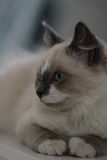 Ragdoll cat close-up stock photography