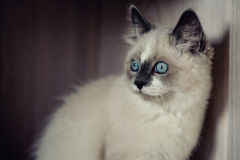 Ragdoll cat close-up stock image