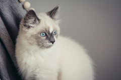 Ragdoll cat close-up stock images