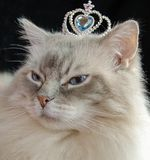 Ragdoll cat with crown Stock Photos