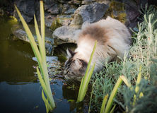 Ragdoll cat drinking from a pond Stock Photos