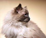 Ragdoll cat 'en profile'. The profile of Boris, a ragdoll cat. Developed by American breeder Ann Baker, it is best known for its docile and placid temperament Stock Images