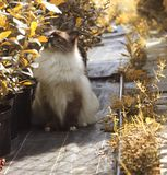 Ragdoll cat enjoying sunlight outdoors royalty free stock image