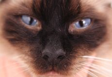 Ragdoll cat face with blue eyes Royalty Free Stock Photography