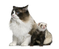 Ragdoll cat and a ferret. Sitting in front of white background Stock Photography