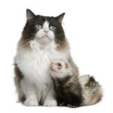 Ragdoll cat and a ferret. Sitting in front of white background royalty free stock photo