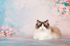 Ragdoll cat in flowers. Pretty ragdoll cat lying at a romantic background with flowers royalty free stock photography