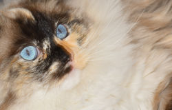 Ragdoll cat in the foreground. With big blue eyes Stock Photography