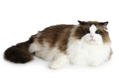 Ragdoll cat in front of a white background Stock Image