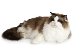 Ragdoll cat in front of a white background Stock Photos