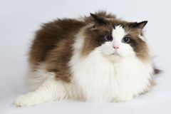Ragdoll cat in front of a white background Stock Images
