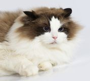 Ragdoll cat in front of a white background Royalty Free Stock Images