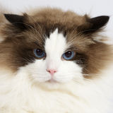 Ragdoll cat in front of a white background Royalty Free Stock Image